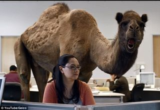 A Quest to be Geico Hump Day Camel